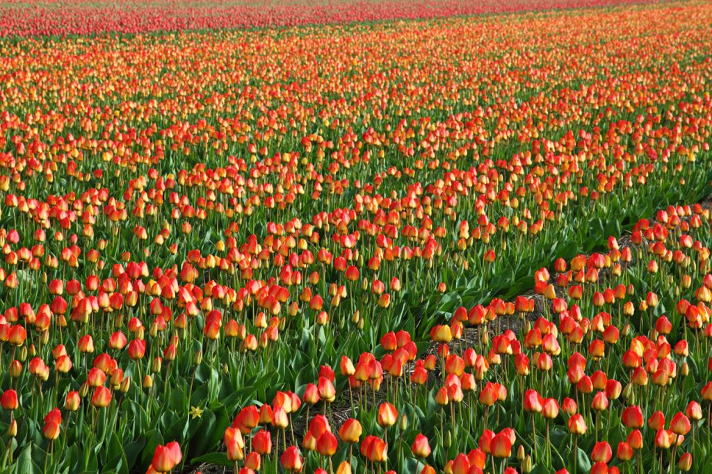 Tulip Field at Hitachi Seaside Park